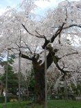 080417_maruyamakouen_04