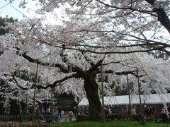 080417_maruyamakouen_05